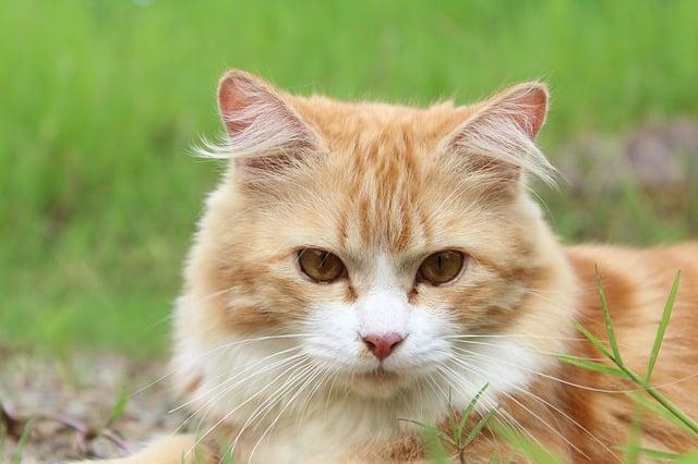 un chat roux stérilisé