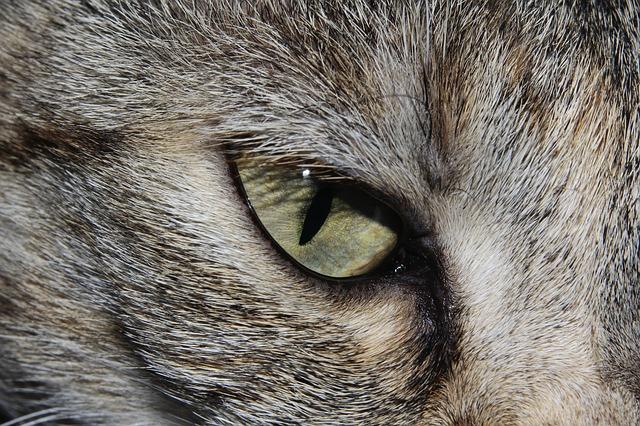 Gros plan sur l'oeil d'un chat