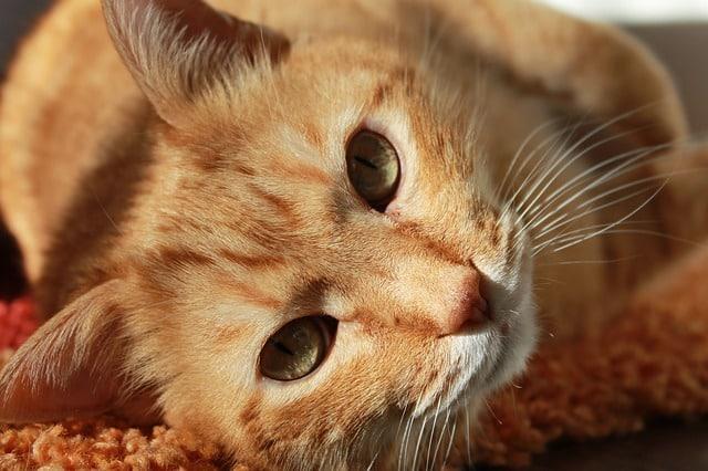 un chat roux qui dort