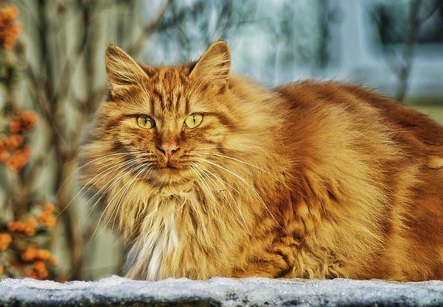 chat à longs poils