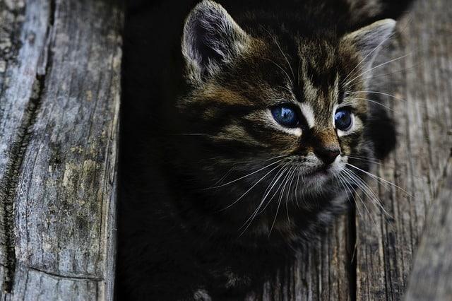 un chat tigre devant une porte
