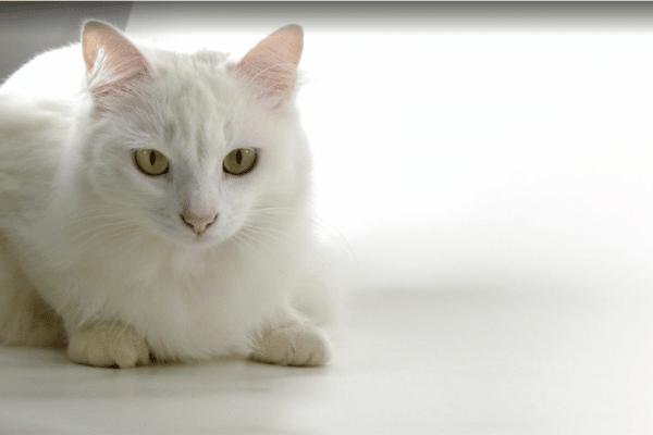 un chat angora turc
