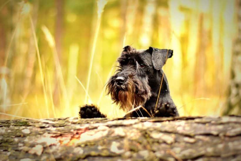 un beau chien scottish terrier