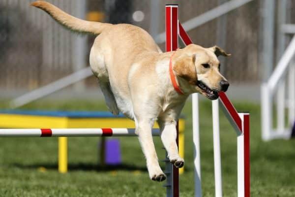 un chien durant un parcours d'agilité