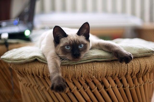 un siamois thai sur son canapé