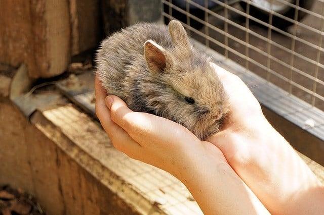 petit lapin entre les mains