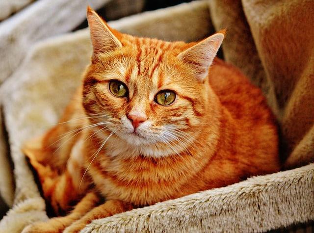 chat qui a des calculs urinaires