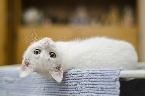 tête d'un petit chaton