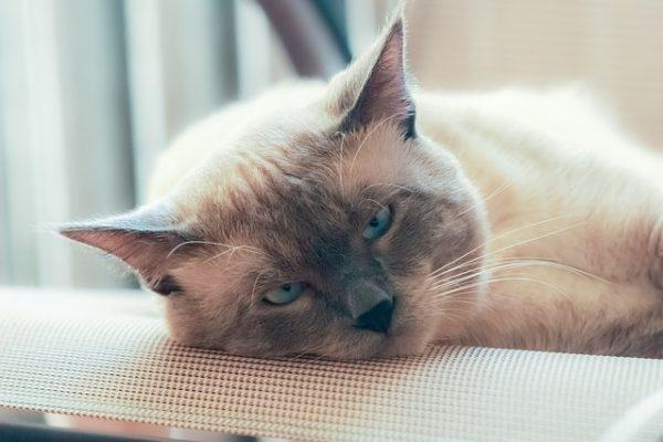 siamois thai allongé sur canapé