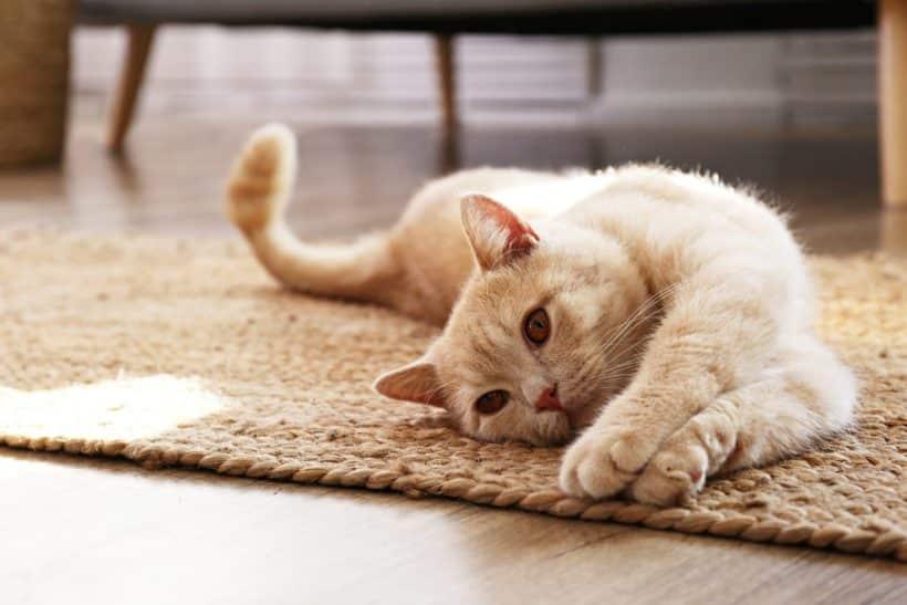 chat sur un tapis